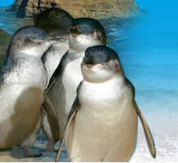 Phillip Island Penguin Parade - Geraldton Accommodation
