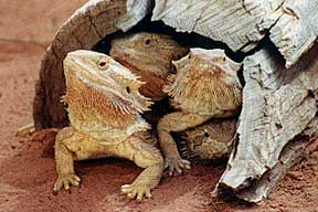 Alice Springs Reptile Centre - Geraldton Accommodation