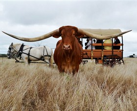 Texas Longhorn Wagon Tours and Safaris - Geraldton Accommodation