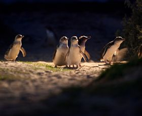 Phillip Island Nature Parks - Geraldton Accommodation