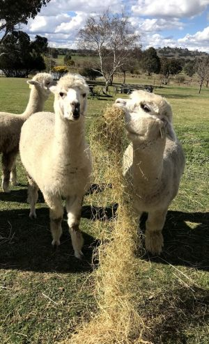 Clearview Alpacas - Geraldton Accommodation