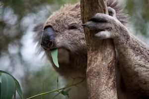 Phillip Island Koala Conservation Centre Entry ticket - Geraldton Accommodation