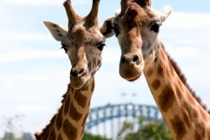 Sydney Harbour Ferry with Taronga Zoo Entry Ticket - Geraldton Accommodation