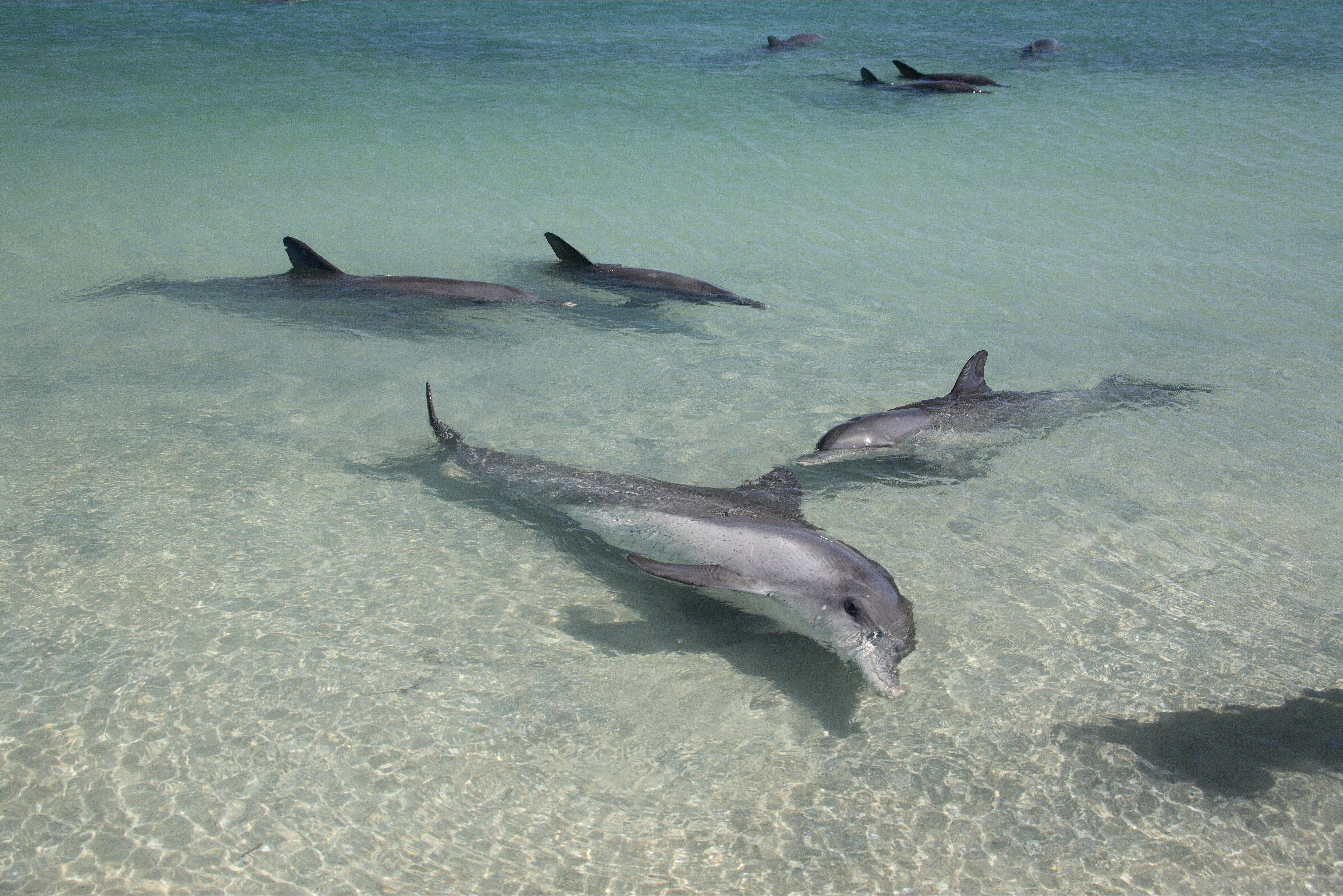 Dolphins of Monkey Mia - Geraldton Accommodation