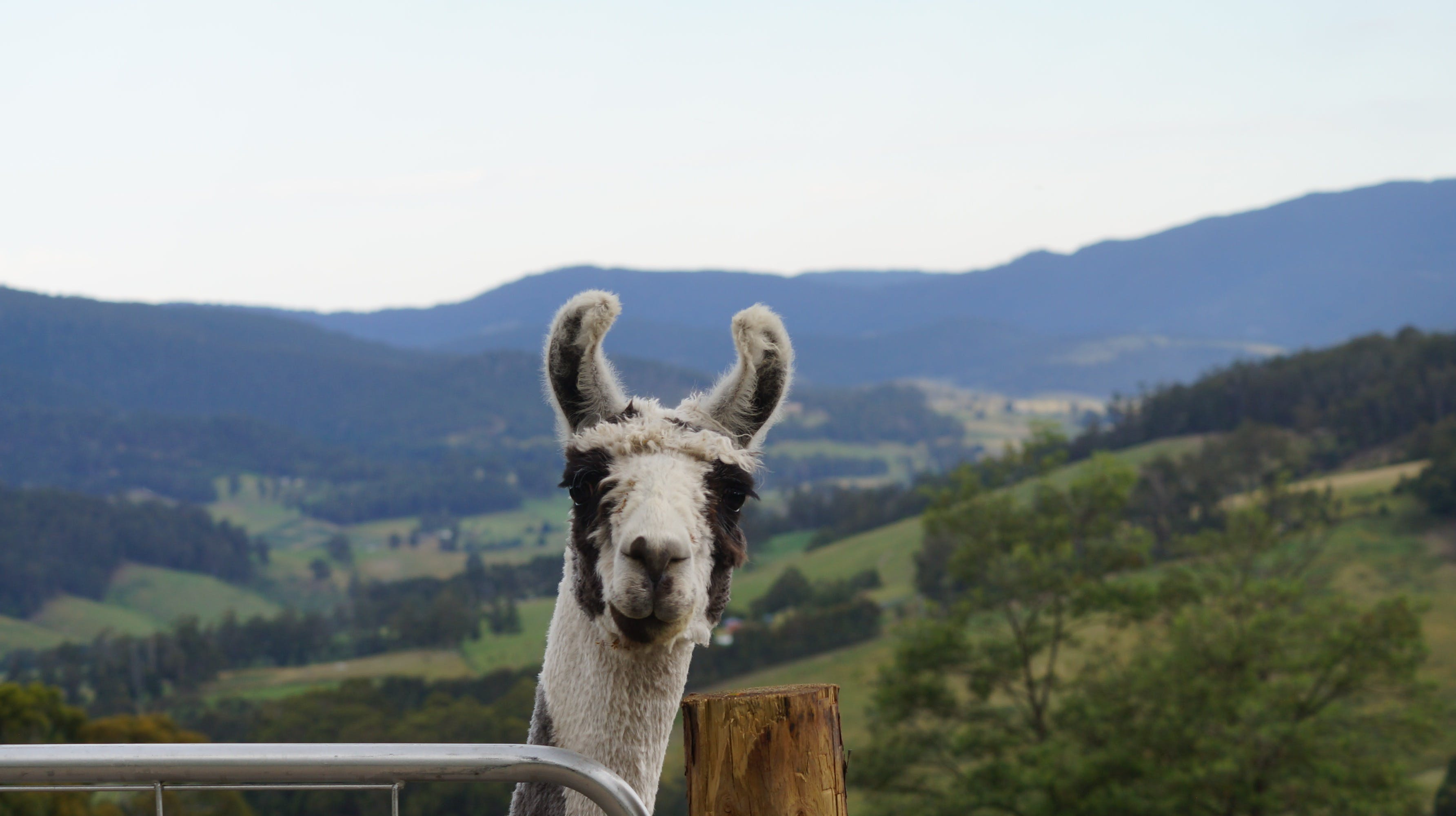 Llama Walks Tasmania - Geraldton Accommodation