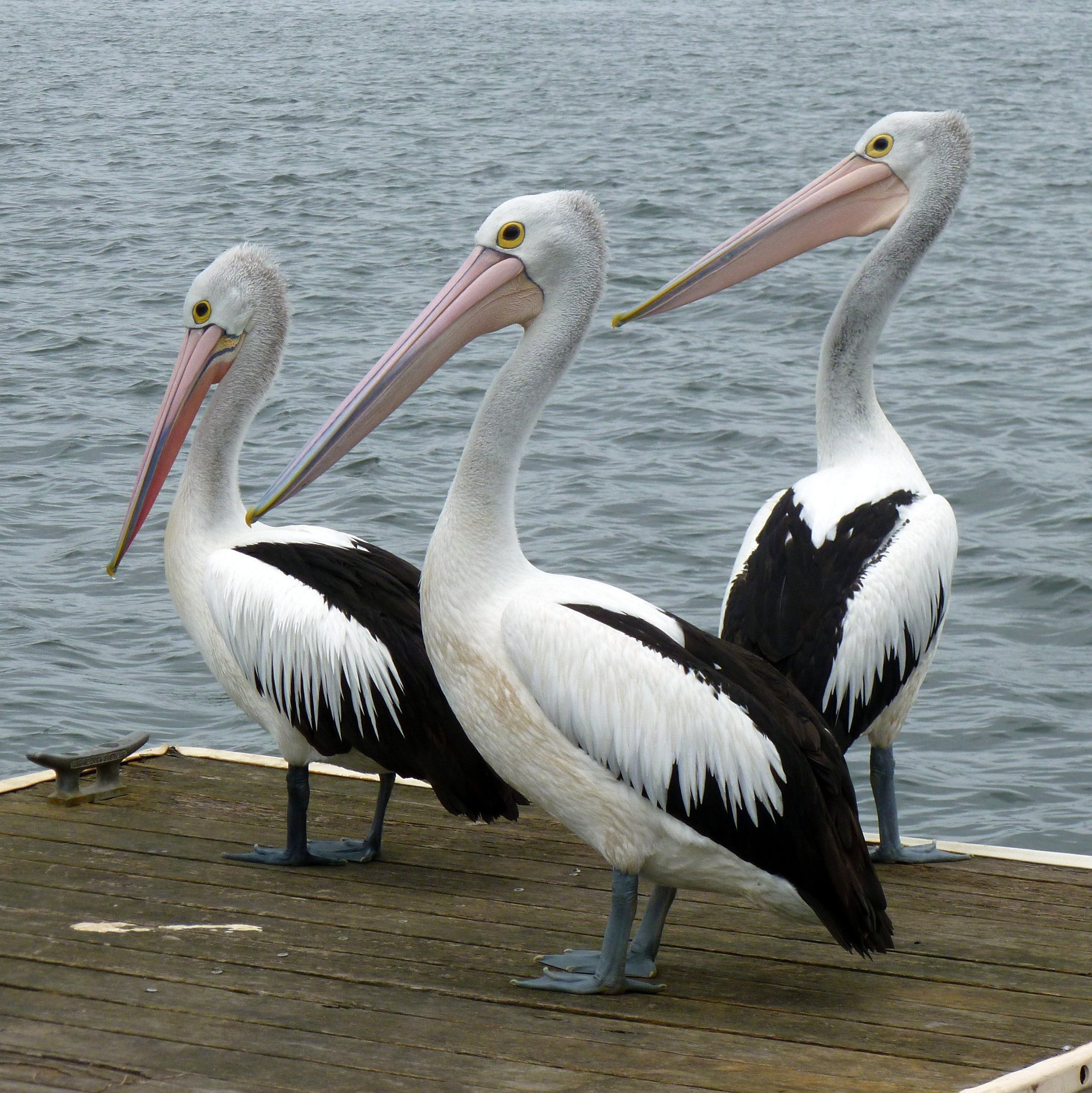 Pelican Feeding - Geraldton Accommodation